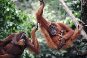 100133_Sumatra-Indonesia-Orangut-Gunung-Leuser-National-Park